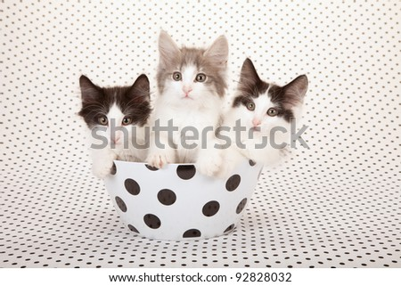 Norwegian Forest Cat kittens sitting inside polka dot bowl - stock photo