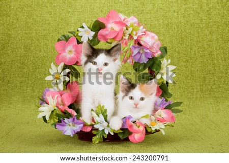 Norwegian Forest Cat kittens sitting inside Spring basket decorated with silk flowers on lime green background  - stock photo