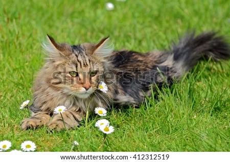 Norwegian Forest Cat, long-haired cat