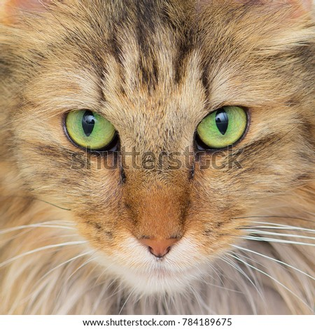 Norwegian Forest Cat, long-haired cat with green eyes, close-up on eyes