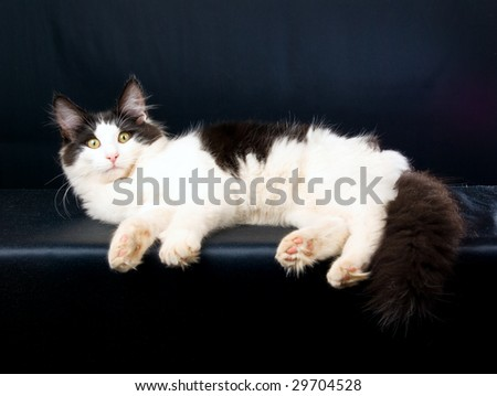 Norwegian Forest Cat lying down on black background
