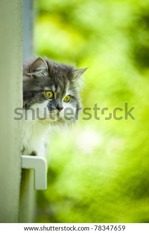 Norwegian Forest Cat lying on the window sill. - stock photo