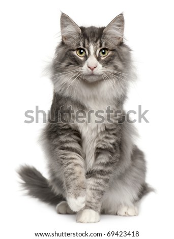 Norwegian Forest Cat, 5 months old, sitting in front of white background - stock photo