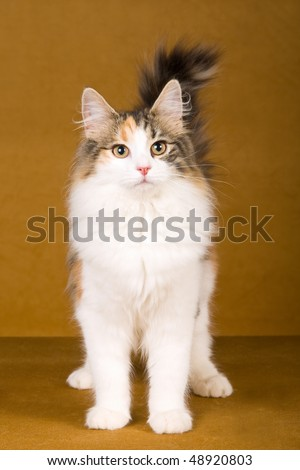 Norwegian Forest Cat on bronze background - stock photo