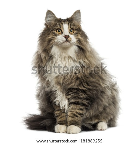 Norwegian Forest cat sitting, looking up, isolated on white - stock photo