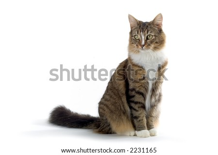 norwegian forest cat sitting on the ground - stock photo