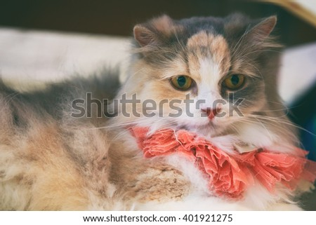 Norwegian Forest Cat vintage tone, soft focus
