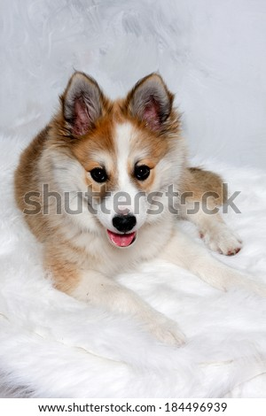 Norwegian lundhund dog is resting and is looking in the camara. Some people also call it a Norwegian Puffin Dog. - stock photo