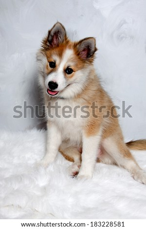 Norwegian lundhund dog is sitting and looking. Some people also call it a Norwegian Puffin Dog. - stock photo
