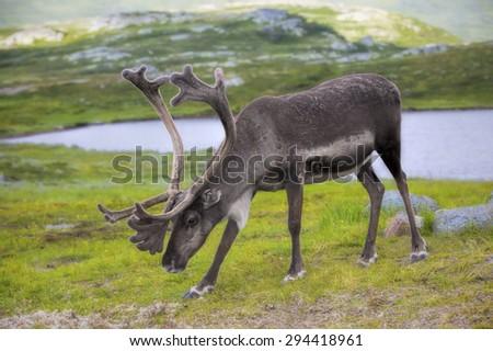 Norwegian reindeer eating grass in the meadow - stock photo
