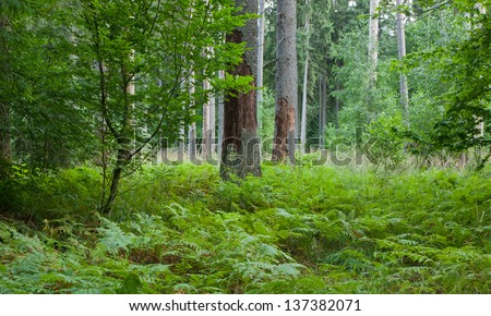 Norwegian Spruce trees in grass and ferns with two dead spruce trunks in front - stock photo