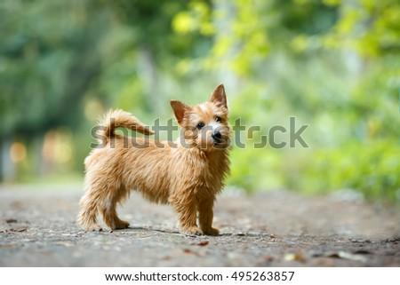 Summer Outdoor Backgrounds Norwich Terrier Puppy Standing In Summer