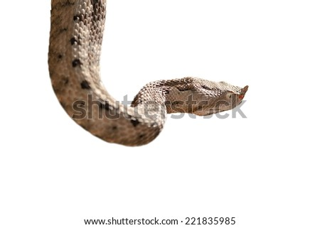 Horned Viper Drawing Nose Horned Viper Isolated