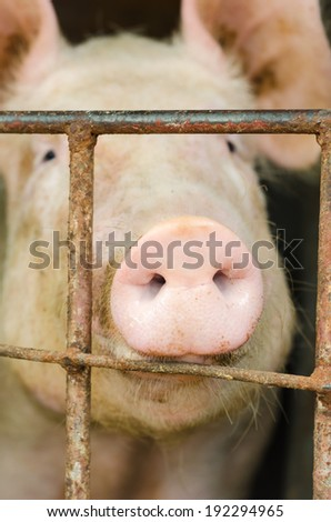 Nose of a pig in a farm