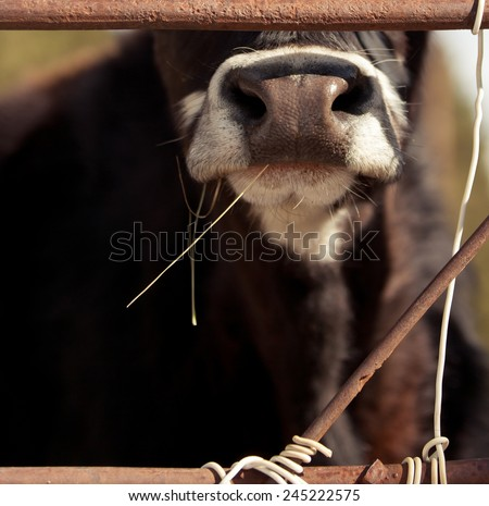 Nose of cow - stock photo
