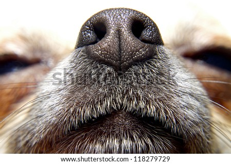 Nose of dog, my lovely chihuahua - stock photo