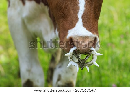 Nose ring, close up of a bull training nose ring - stock photo