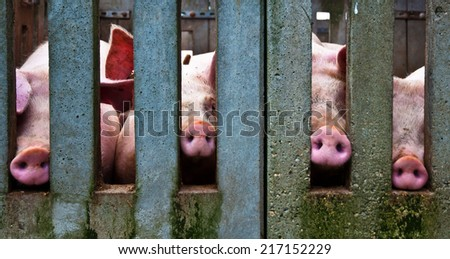 Noses of pigs through a concrete fence - stock photo