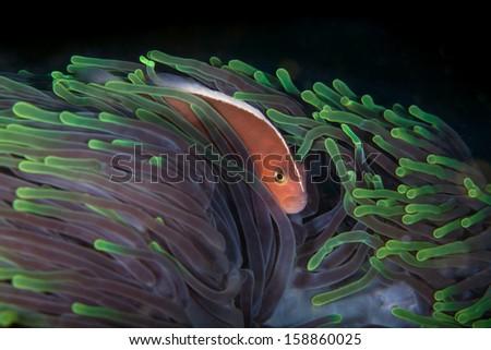 Nosestripe clownfish on green anemone host - stock photo
