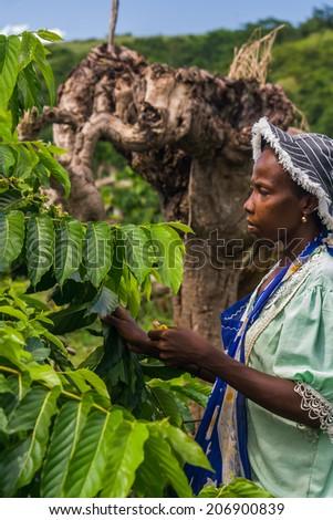 NOSY BE, MADAGASCAR - APR 9: Unidentified malagasy woman harvesting ylang-ylang in Nosy Be, Madagascar on apr 9, 2008. - stock photo