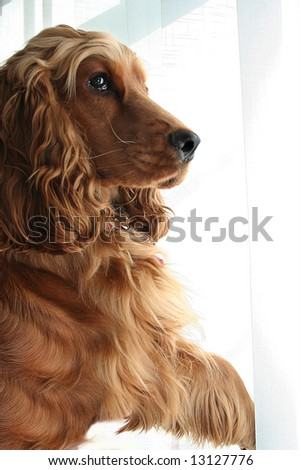 Nosy Neighbor, Cocker Spaniel parts the Window Blinds with Paw - stock photo