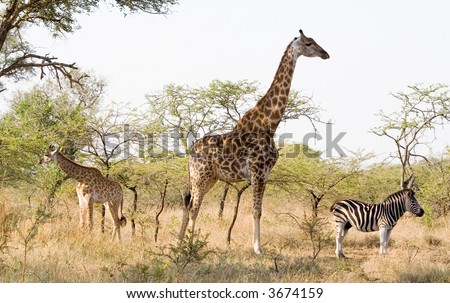 Not on speaking terms - Mkuze game reserve - stock photo