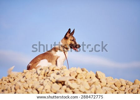 Not purebred domestic dog sits on filling brick against the blue sky.  - stock photo
