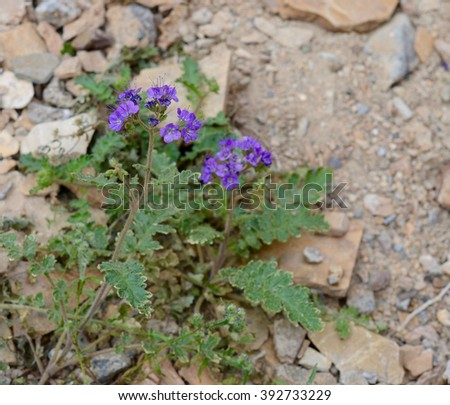 Notch-leaf scorpion weed in Mosaic Canyon, Death Valley during 2016 super bloom