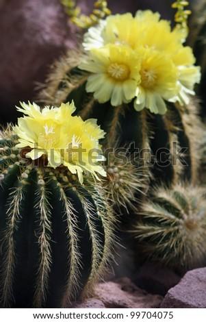 Notocactus magnificus - stock photo