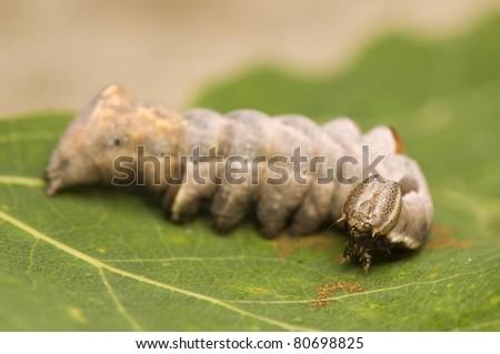 Notodonta torva - stock photo