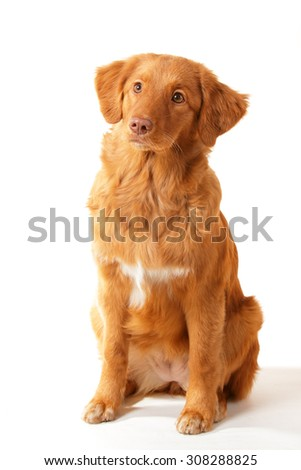 Nova duck retriever ginger dog
