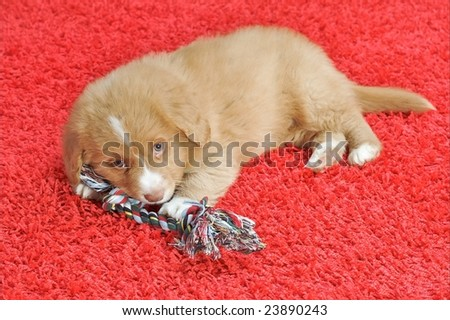 Nova Scotia Duck Toller puppy on a red carpet - stock photo