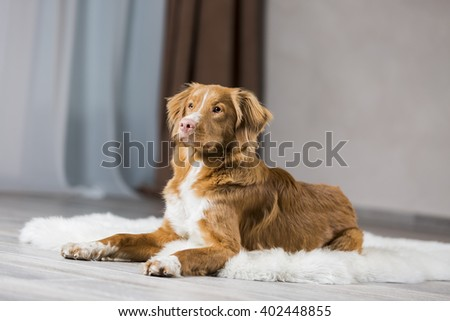 Nova Scotia duck tolling Retriever in the interior Studio