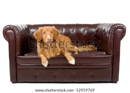 Nova Scotia Duck-Tolling Retriever on a white background