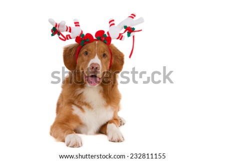 Nova Scotia Duck Tolling Retriever with decorated Christmas antlers, isolated on white