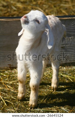 Nubian goat kid stretching to the warm spring sun - stock photo