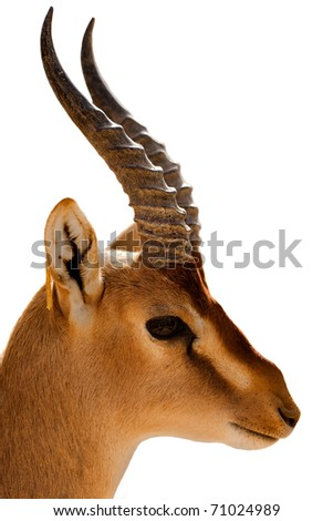 Nubian Ibex - stock photo