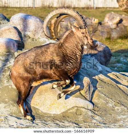 Nubian ibex (goat) jumping - stock photo