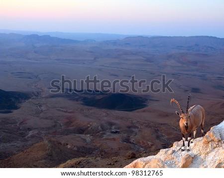 Nubian ibex on the rim of the crater Ramon - stock photo