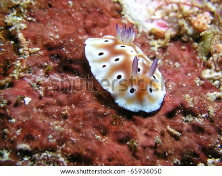 Nudibranch chromodoris leopardus - stock photo