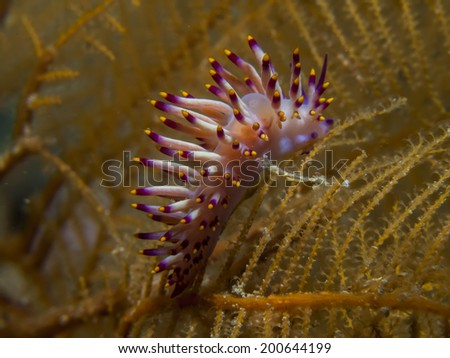 Nudibranch Flabellina Flabellina - stock photo