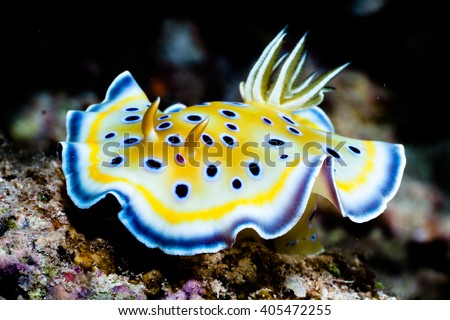 nudibranch from red sea - stock photo