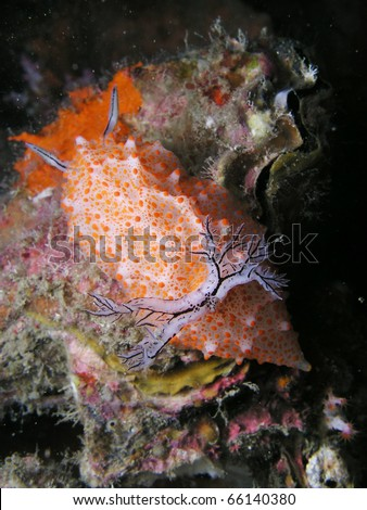 Nudibranch halgerda sp - stock photo