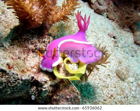 Nudibranch Hypselodoris Apolegma laying eggs - stock photo