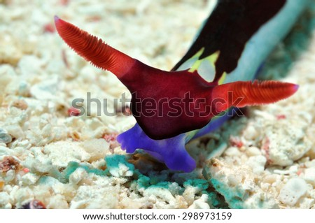 Nudibranch (Purple Lined nembrotha) is crawling along a reef, Panglao, Philippines - stock photo