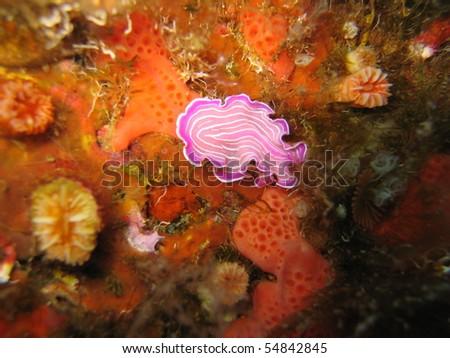 Nudibranchs - stock photo