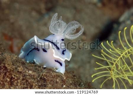 Nudibranchs (Cromodoris willani) - stock photo