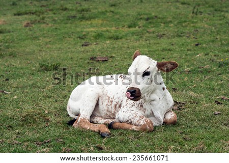 Nuguni Calf in the veld on the ranch Indigenous to South Africa - stock photo