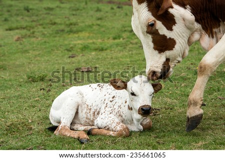 Nuguni cow and calf in the veld on the ranch Indigenous to South Africa - stock photo