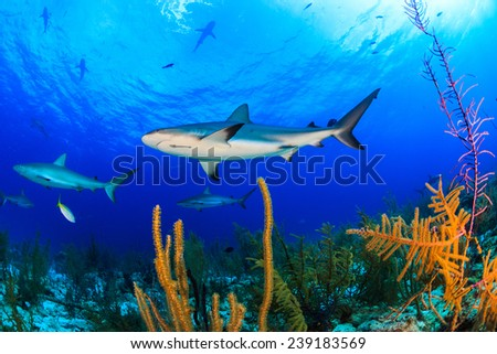 Numerous shark swimming over beautiful soft coral and reef with blue water background - stock photo